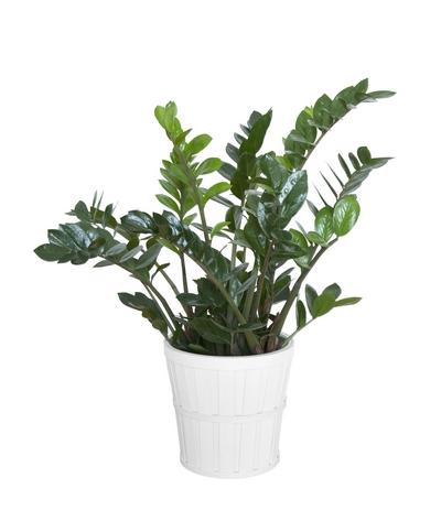 Rośliny doniczkowe cieniolubne – zamiokulkas