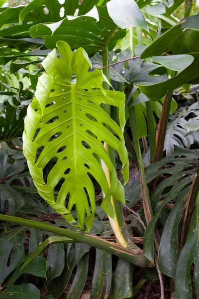Rośliny doniczkowe cieniolubne – monstera