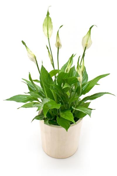 Rośliny doniczkowe cieniolubne – skrzydłokwiat