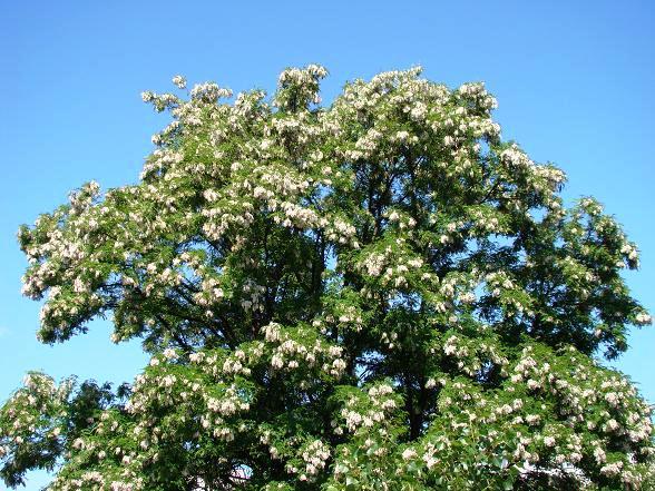 Rośliny miododajne - Robinia Akacjowa