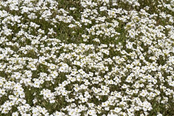 Rośliny zadarniające - Gęsiówka