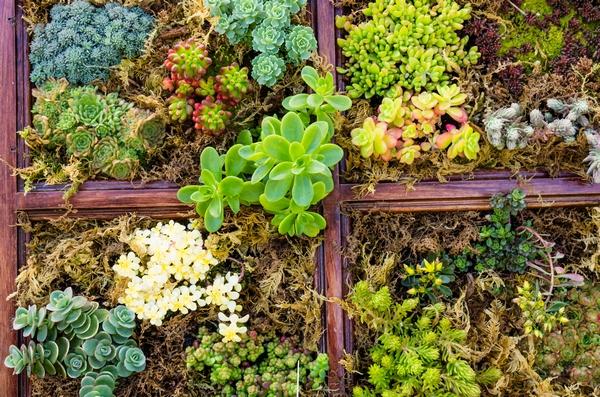 Rośliny zadarniające - Rozchodniki