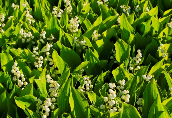 Rośliny zadarniające - Konwalia majowa