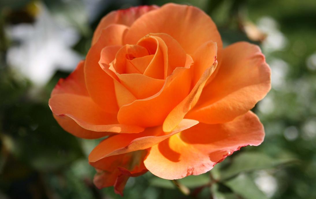Róża róże pielęgnacja róż