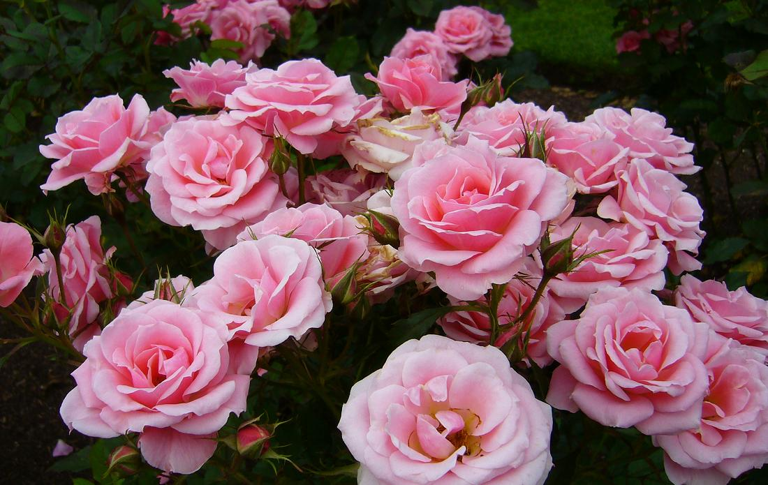 róże róża