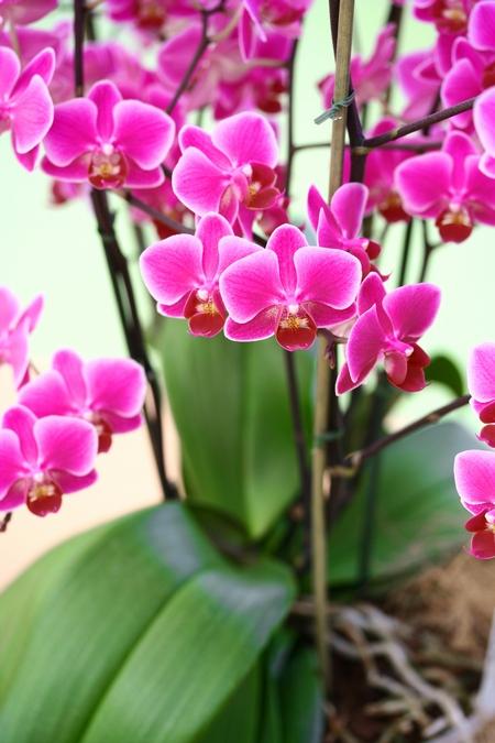 Rozmnażanie storczyków - falenopsis