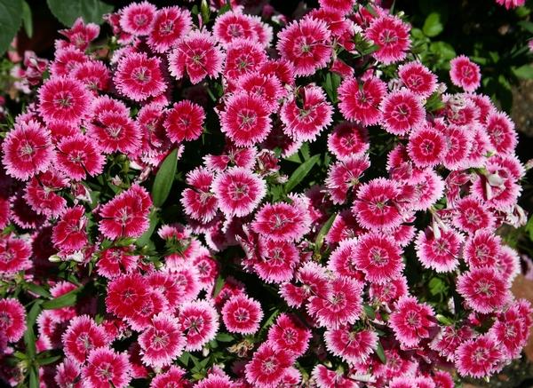 Różowe kwiaty - goździki