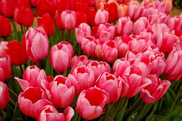 Różowe kwiaty - tulipany
