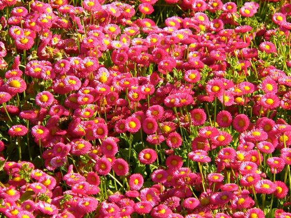 Różowe kwiaty - stokrotki