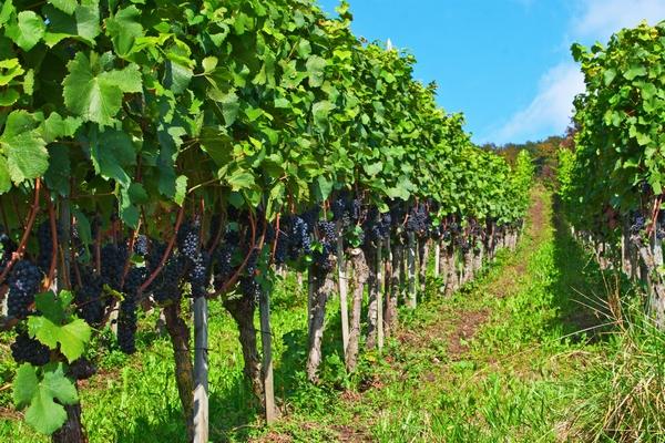 Sadzenie winorośli