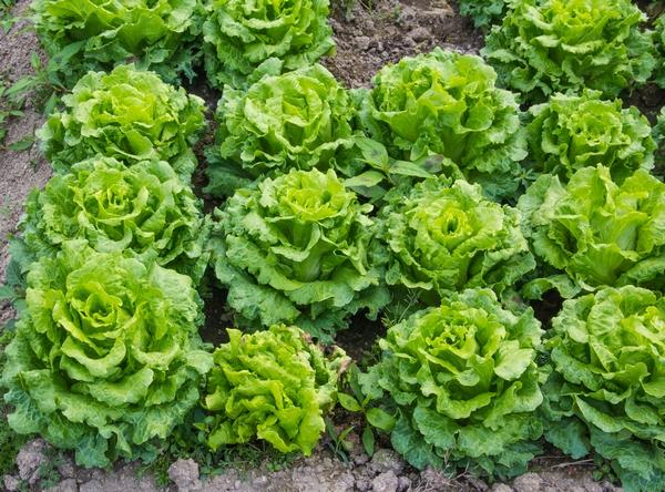 Sałata masłowa - uprawa, pielęgnacja i wartości odżywcze