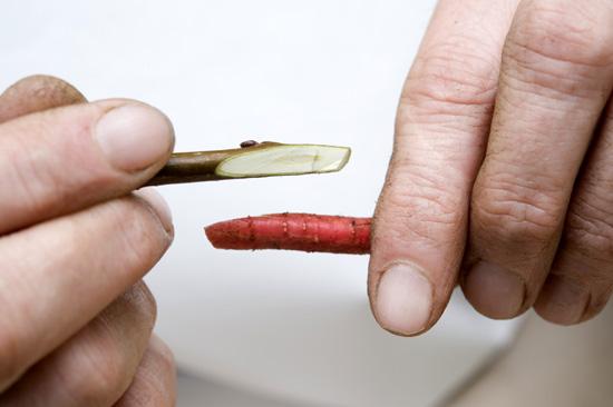 Szczepienie jabłoni - Szczepienie przez stosowanie fot.1