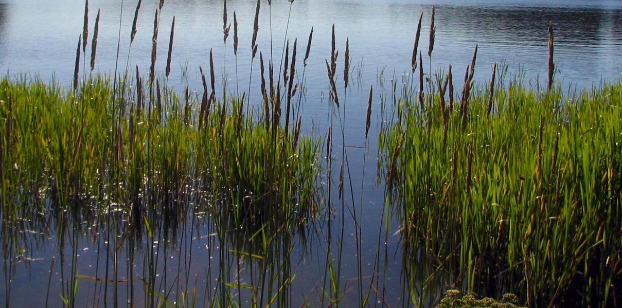 trzcina - roślina wodna