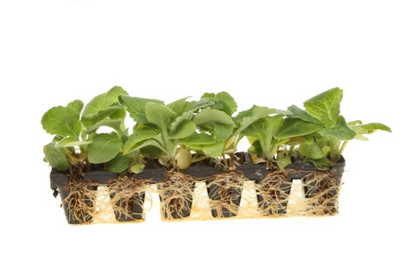 Ukorzenianie roślin