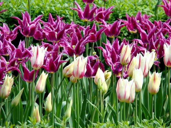 Tulipany ogrodowe
