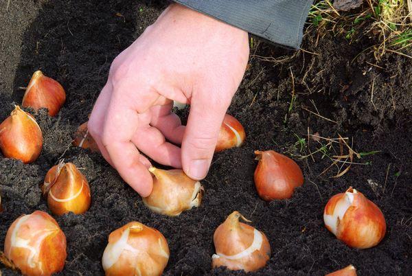 Uprawa tulipanów - sadzenie tulipanów