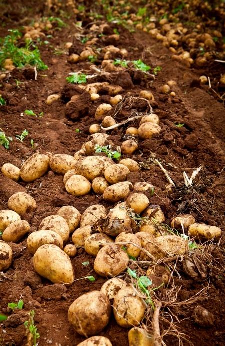 Uprawa ziemniaków