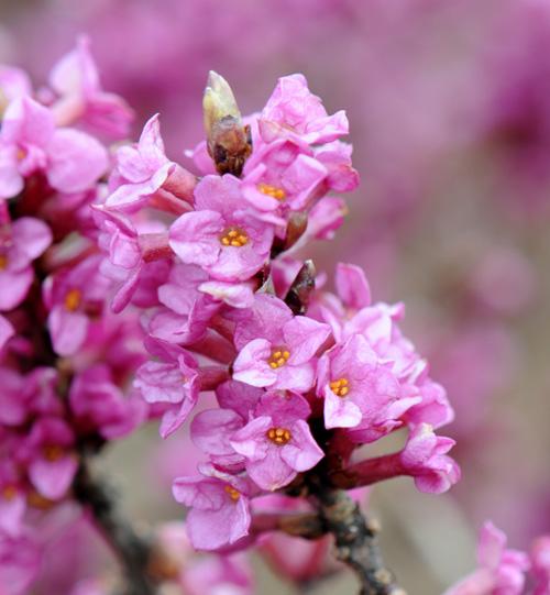 Wawrzynek - kwiaty