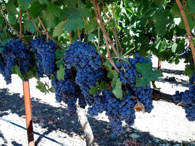 Odmiany winorośli