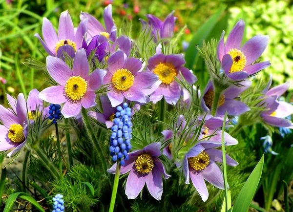 Wiosenne rośliny - sasanki