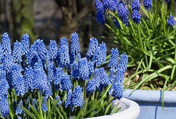 Wiosenne rośliny - szafirki