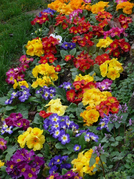 Wiosenne rośliny - pierwiosnek