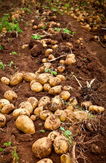 Ziemniaki - uprawa