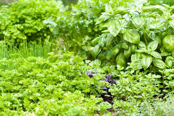 Zioła odchudzające - ogród ziołowy