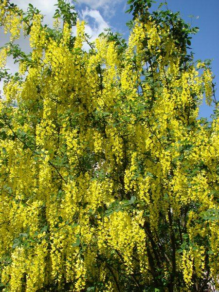 Złotokapy - kwiaty