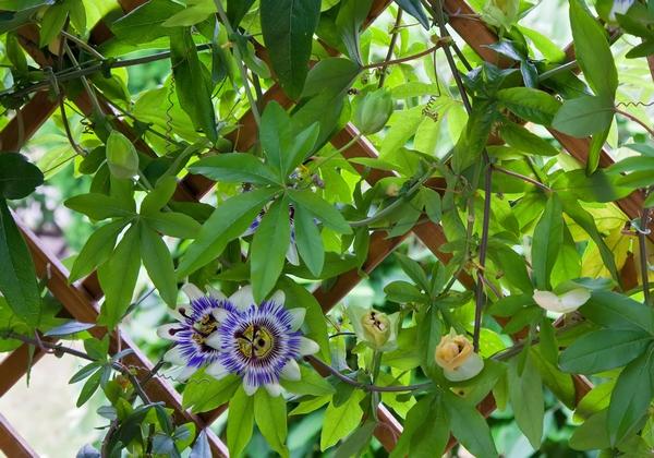passiflora m czennica uprawa piel gnacja i owoce. Black Bedroom Furniture Sets. Home Design Ideas
