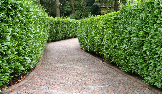 Ywop ot szybko rosn cy for Arbustos decorativos jardin