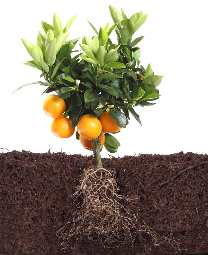 Przykład roślin o palowym systemie korzeniowym