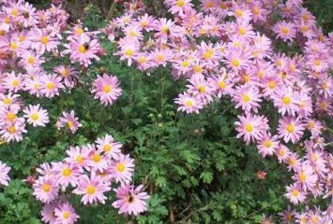 Chryzantema. Jak pielęgnować chryzantemy aby pięknie zakwitły?