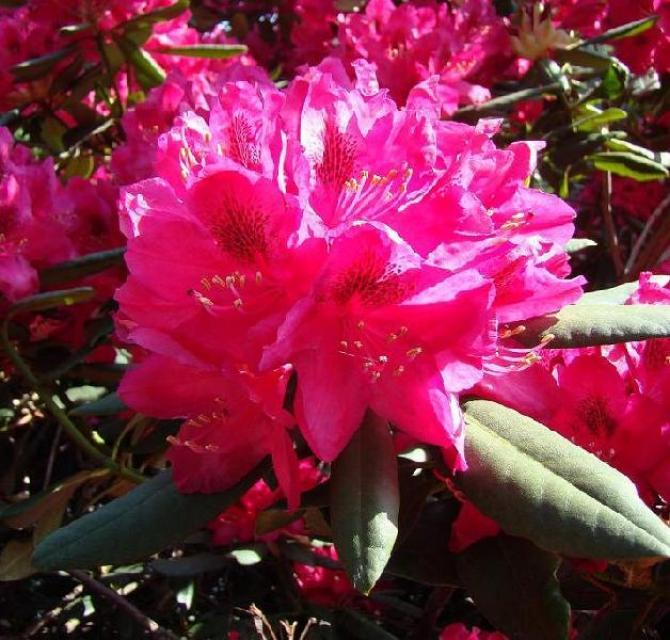 Różanecznik  Piękno w każdym ogrodzie