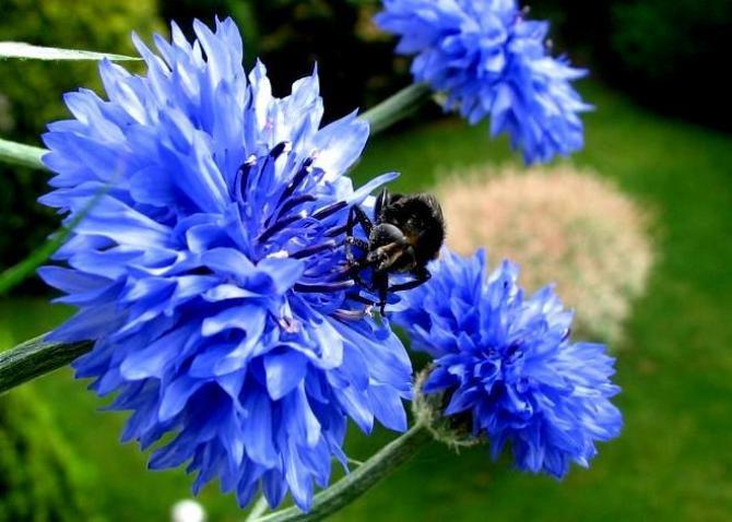 Chabry  kwiaty lata w każdym ogrodzie