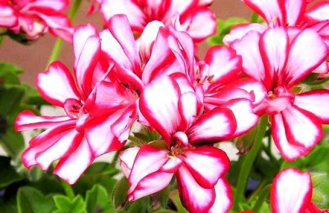 Piękny balkon w Pelargoniach,  dlaczego warto nadal uprawiać te kwiaty?