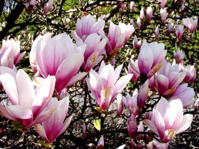Magnolie - królewskie kwiaty w każdym ogrodzie