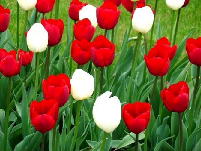 Czerwone kwiaty  płomień w ogrodzie i na balkonie