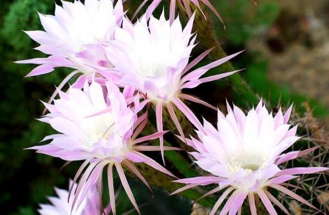 Popularne, kwitnące kaktusy doniczkowe.