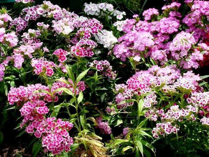 Goździki ogrodowe - kwiaty dla każdego