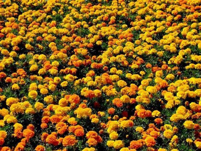 Zalety ogrodowej Aksamitki