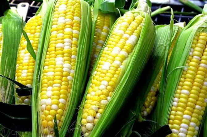 Kukurydza w ogrodzie  uprawa i pielęgnacja