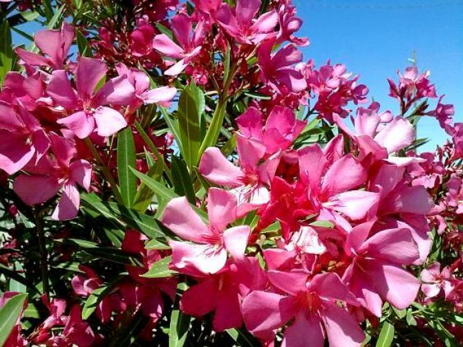 Oleander  podlewanie, rozmnażanie, przycinanie i choroby