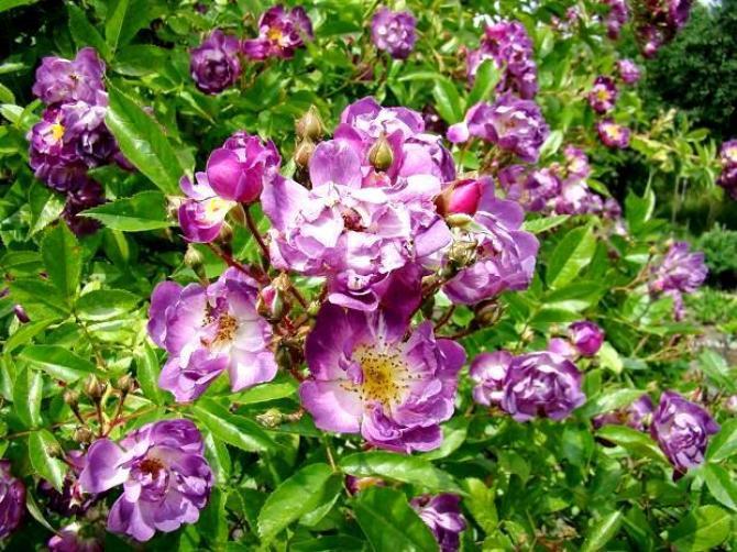 Róże rabatowe  piękno w ogrodzie