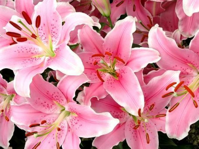 Lilie ogrodowe  uprawa i pielęgnacja