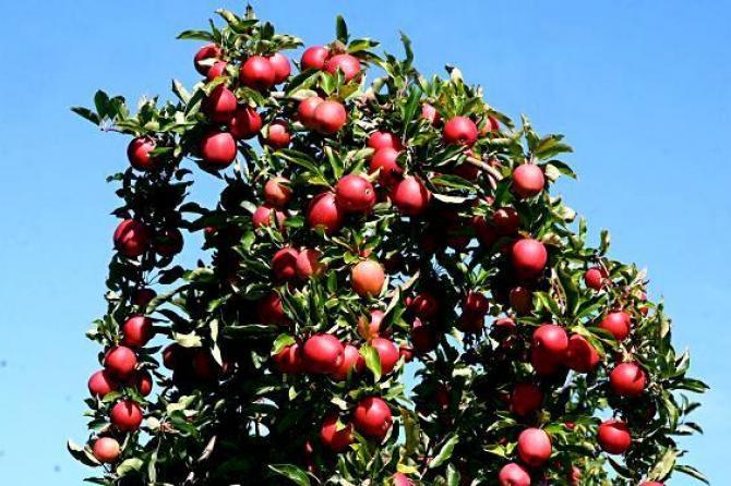 Cięcie jabłoni w okresie letnim