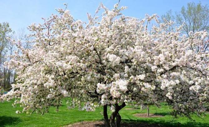 Drzewa Owocowe - Jabłonie