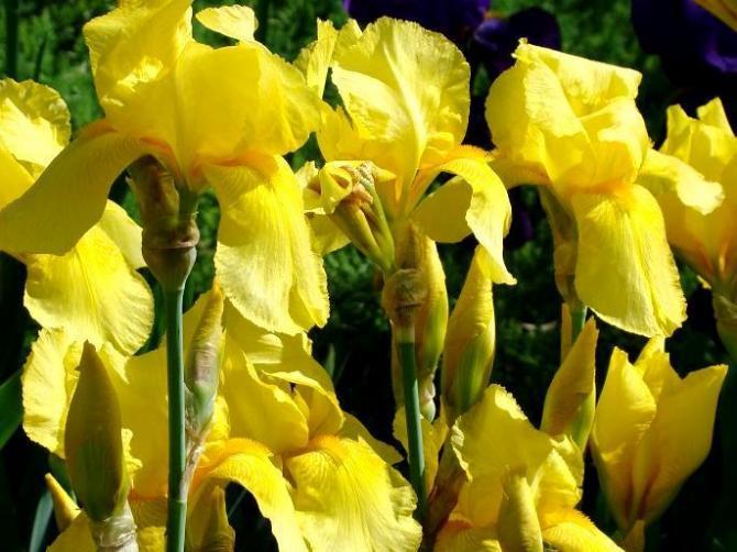 Irysy - zapomniane kwiaty. Uprawa i pielęgnacja
