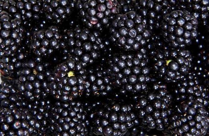 Uprawa jeżyn  owoce w ogrodzie