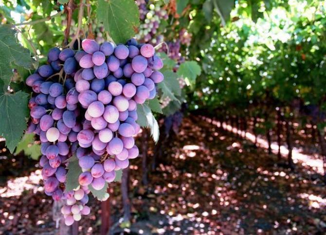Uprawa winogron  owoce w ogrodzie